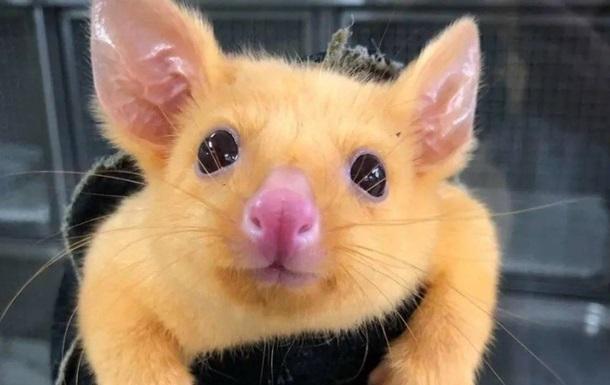 В Австралии нашли реального Пикачу