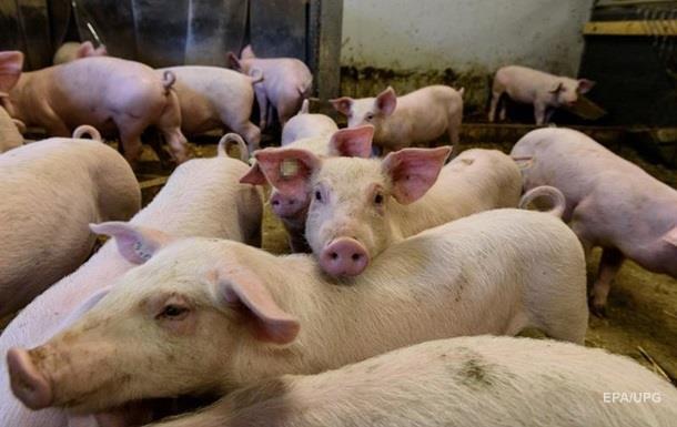 Африканську чуму свиней виявили в чотирьох областях України