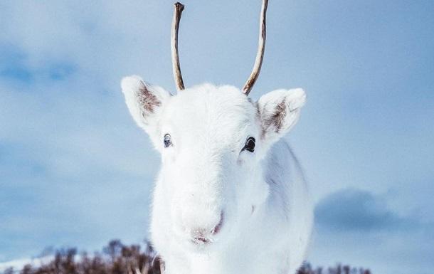 Фотограф снял белоснежного олененка из легенд