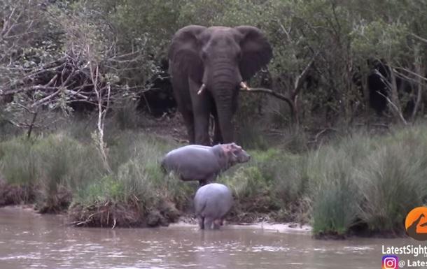 Стычку слона с бегемотами сняли на видео