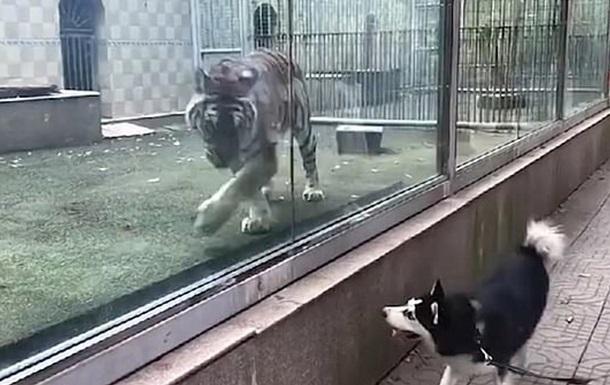 Тигр и пес устроили  погоню  через стекло