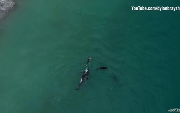 Рідкісне відео: сім я косаток поплавала з плавчинею