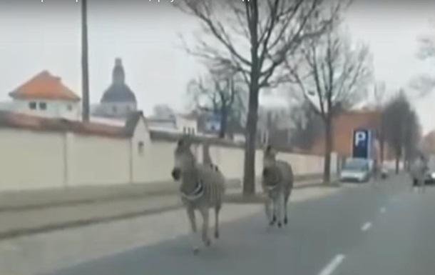 У Дрездені з цирку втекли чотири зебри