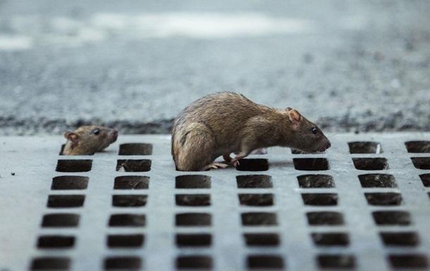 В центре Киева бешеная крыса покусала женщину