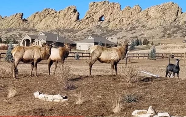 У США вівця приєдналася до стада оленів