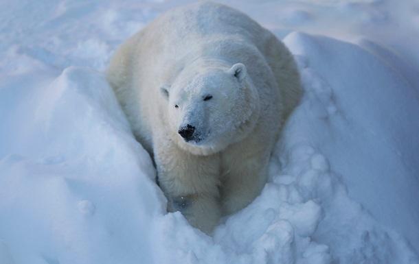 На Алясці білий ведмідь влаштував гру із собакою