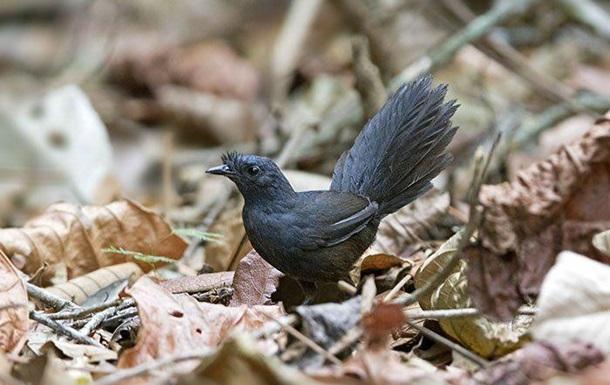 В Бразилии обнаружили редчайшую вымирающую птицу