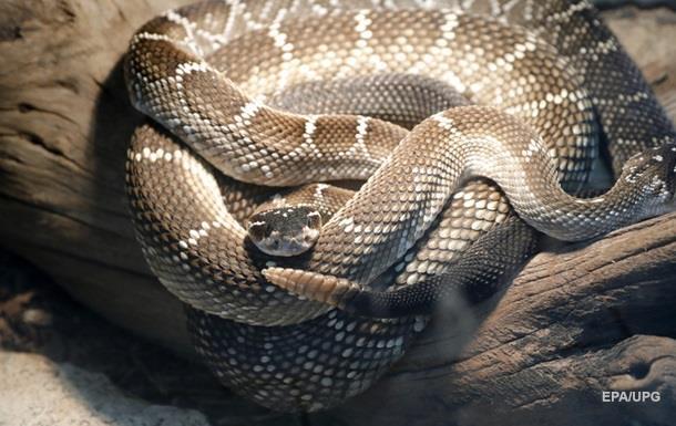 Фермер виявив під сараєм сотні гримучих змій