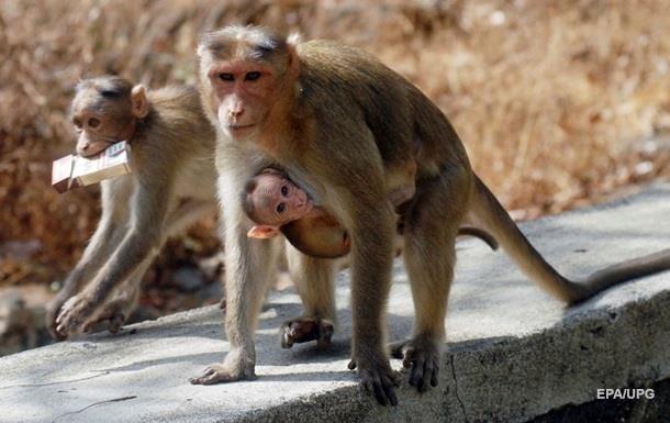 Мавпа, яка краде номер автомобіля, потрапила на відео