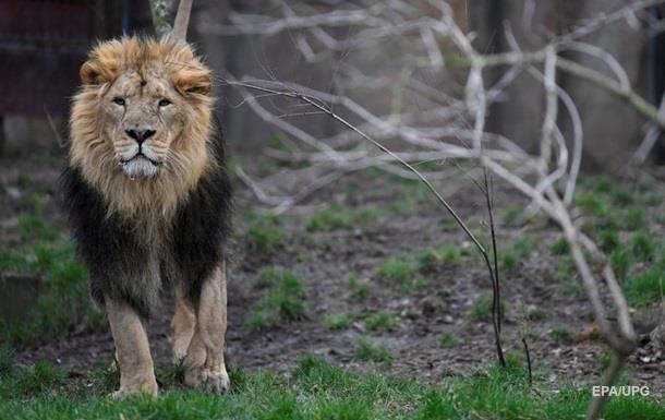 Лев роздер 22-річну дівчину у США