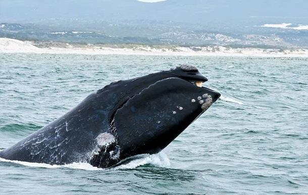 Дитинча вимираючого кита помічене вперше за два роки