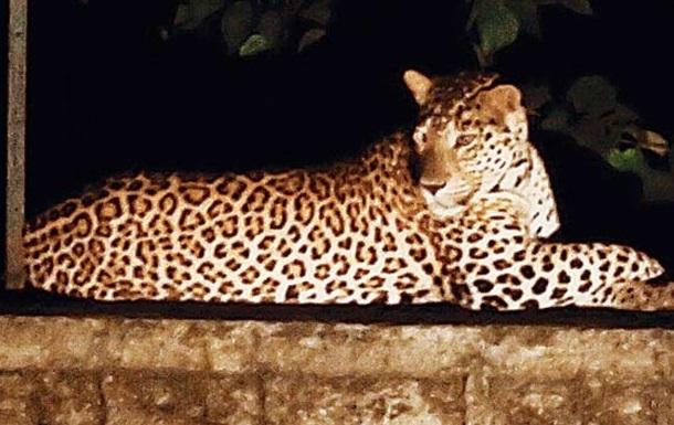 В Індії спіймали леопарда, який вбивав людей