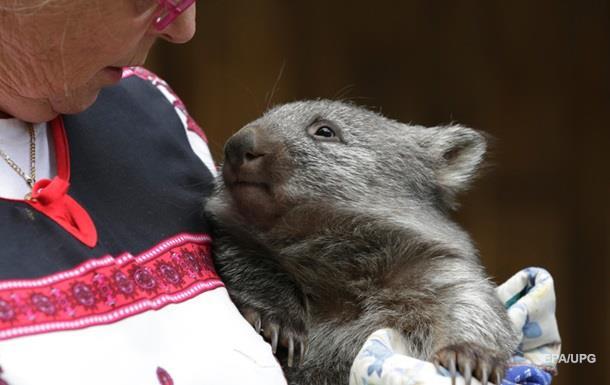 Влада Австралії закликала  поважати  вомбатів