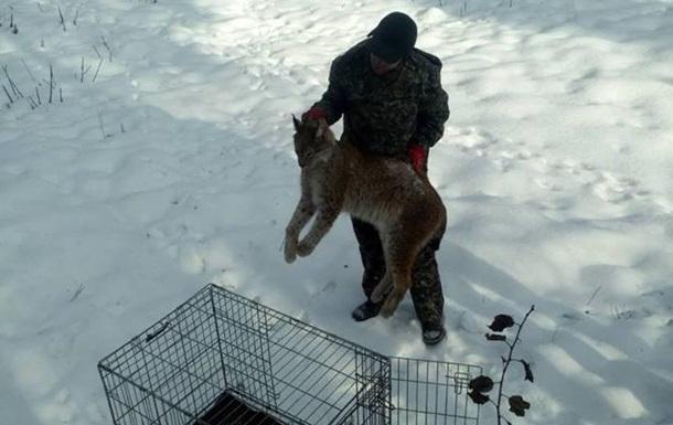 В Житомире обнаружили раненую рысь