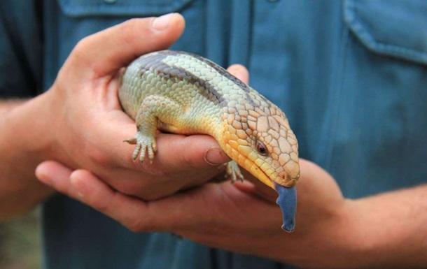 Ящерица-мутант с синим языком удивила зоологов