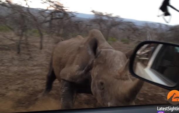 Носорога, що атакує авто, зняли на відео