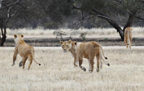 В індійському сафарі-парку хлопця розтерзали леви