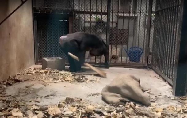 Шимпанзе научились убирать в вольерах зоопарка