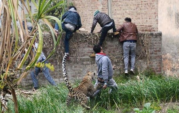 В Індії леопард напав на село: четверо постраждалих