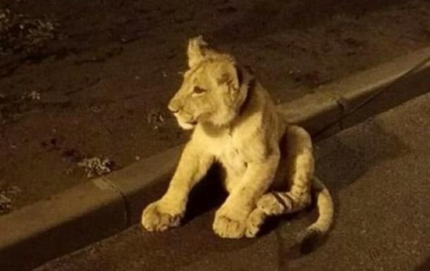 На улице Одессы заметили львенка