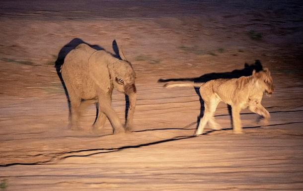 Слоненок поверг атаковавшую его голодную львицу