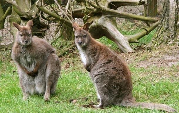 Стало известно, когда кенгуру научились прыгать