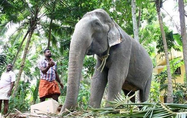 В Індії померла найстаріша слониха у світі