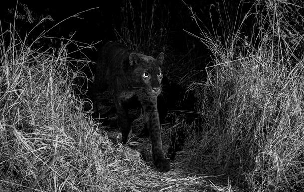 В Африке впервые за 100 лет на фото попал редкий леопард