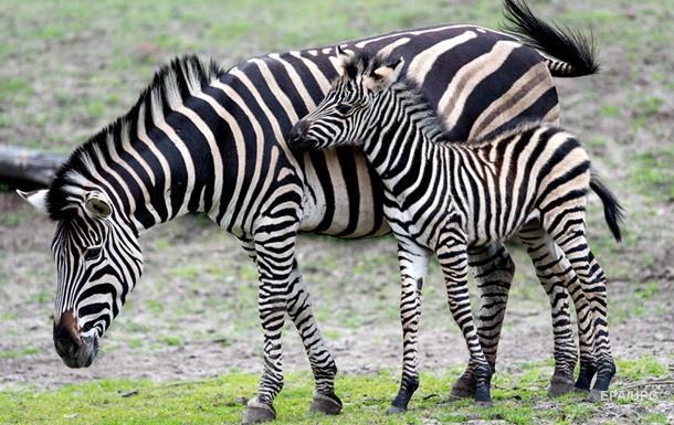 Британские ученые рассказали свою версию, зачем полосы зебре