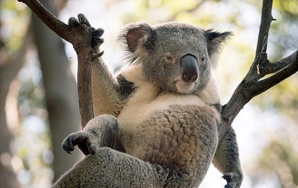 В Австралии на фото попала  сексуальная  коала