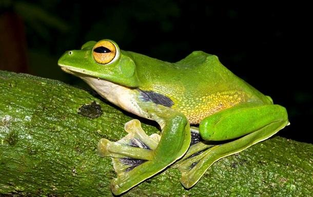Через  чуму амфібій  на Землі можуть зникнути жаби