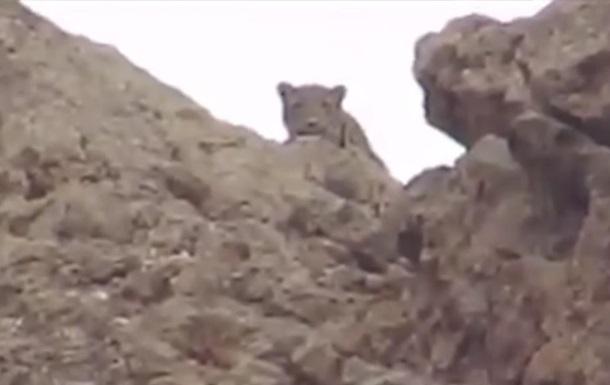 В Армении на видео попал редкий леопард