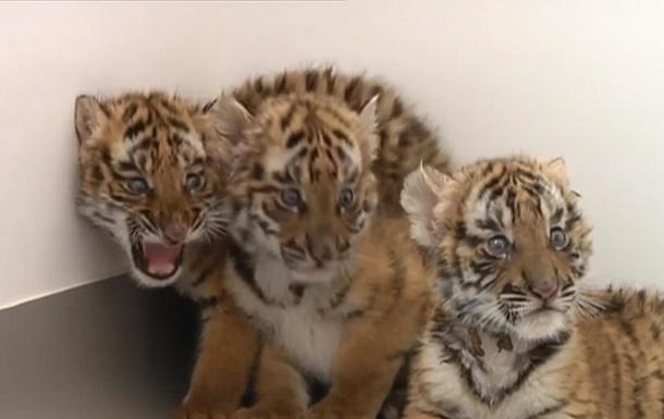 В зоопарке Китая родились шесть тигрят