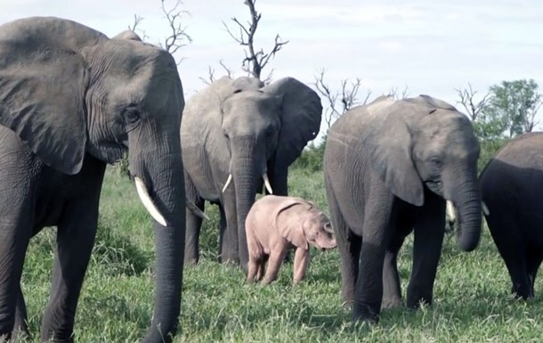 Діснеєвське  рожеве слоненя зняли в ПАР