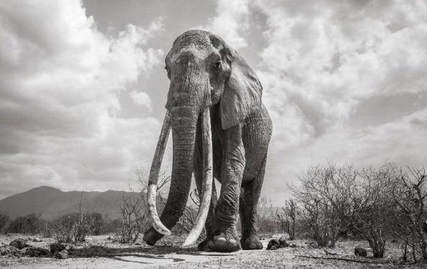 Королева слонів  померла в Африці