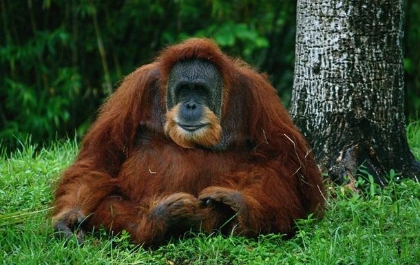 В Индонезии самка орангутана выжила после 74 пулевых ранений