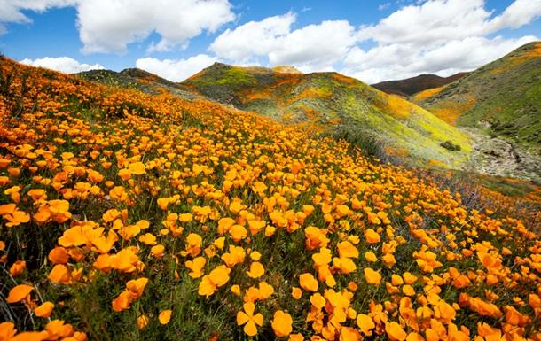 В околицях Лос-Анджелеса пагорби вкрилися квітучими маками
