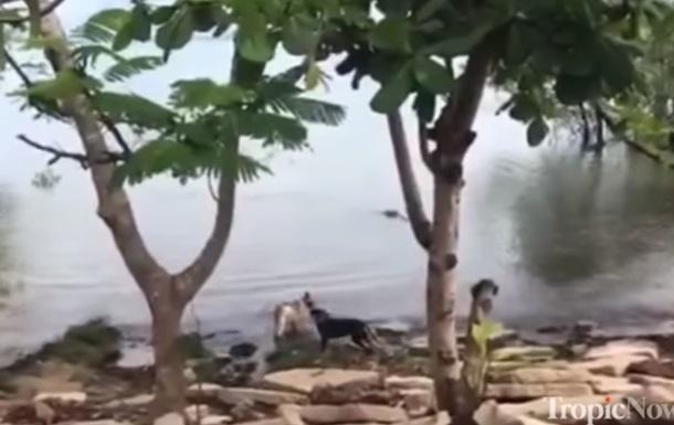 Атаку пса великим крокодилом зняли на відео