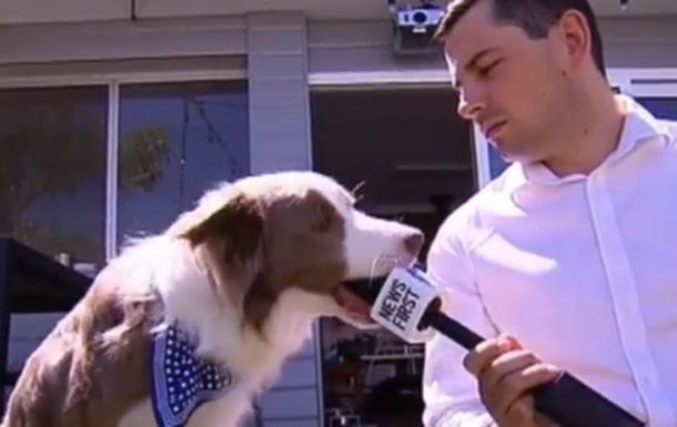 Собака зіпсував інтерв ю,  з ївши  мікрофон