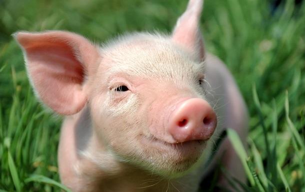 Чоловік підтримав  м ясоїдів  публічним поїданням свинячої голови