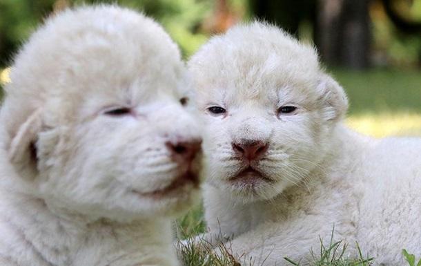 У кримському парку народилися рідкісні білі левенята