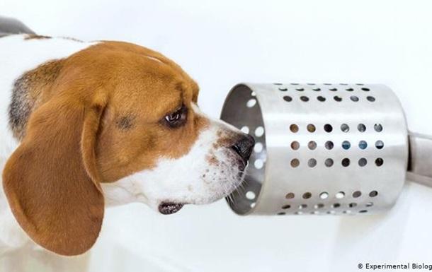 Собаки можуть точно виявляти рак легенів на нюх