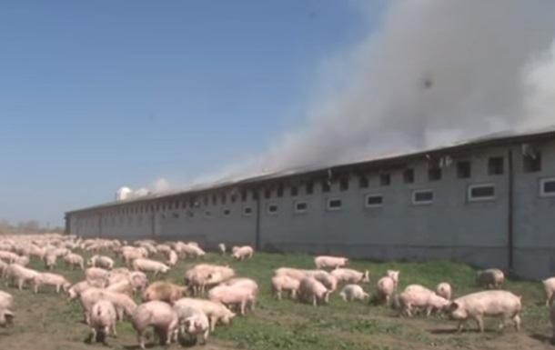Піді Львовом живцем згоріли півтисячі свиней