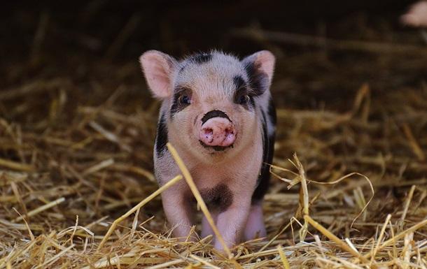 Ученые смогли частично оживить мозг мертвой свиньи