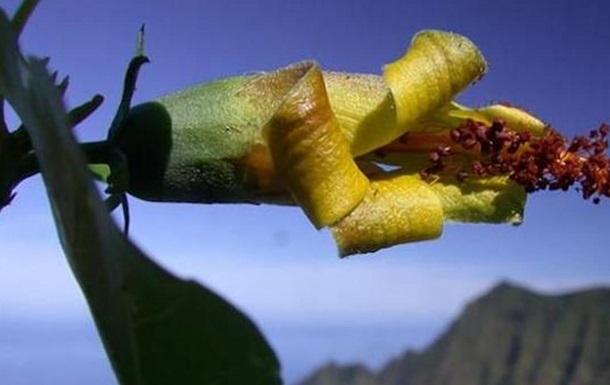 На Гавайах нашли растение, считавшееся вымершим