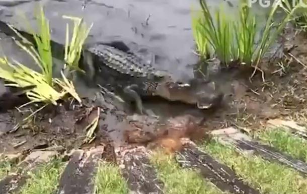 Напавший на змею аллигатор попал на видео