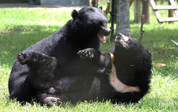У США у дворі будинку побилися два величезні ведмеді