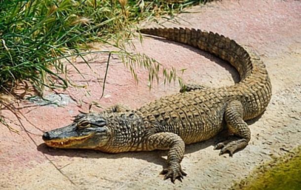 В США сняли аллигатора, плавающего на матрасе в форме крокодила