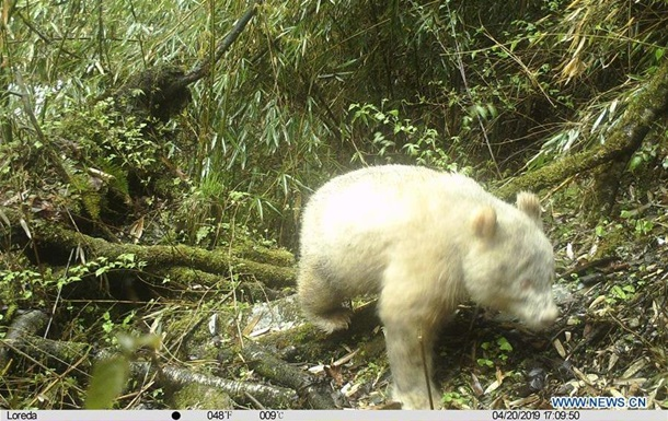 Панду-альбіноса вперше зняли в дикій природі