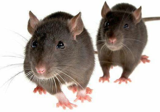 Метушня і миші